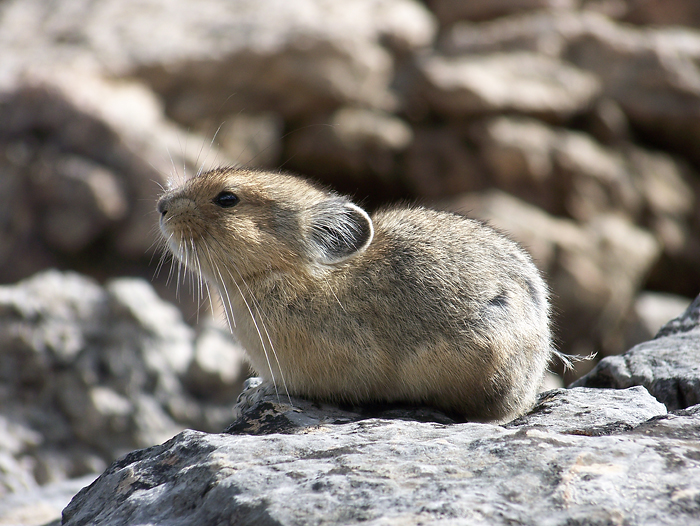 I was initially greeted by a friendly pika