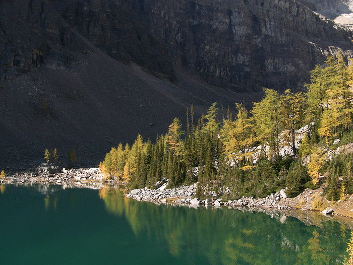 The larches are turning colour around Lake Agnes