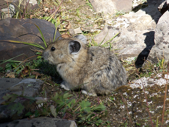 Yet another furry pika in a rock glacier