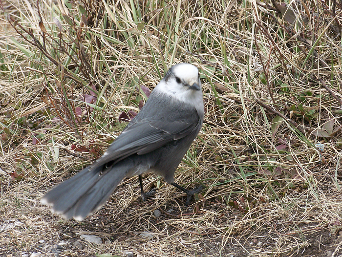 Grey Jay, moving fast