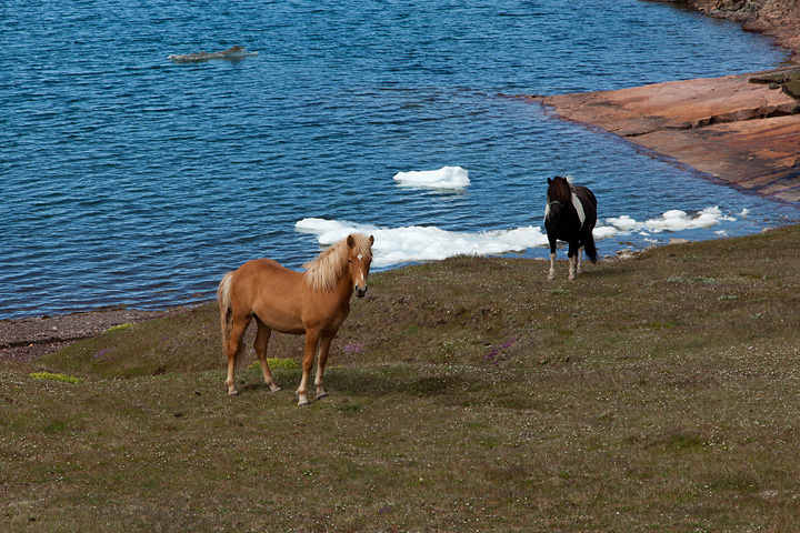 Horses along the ice fjord