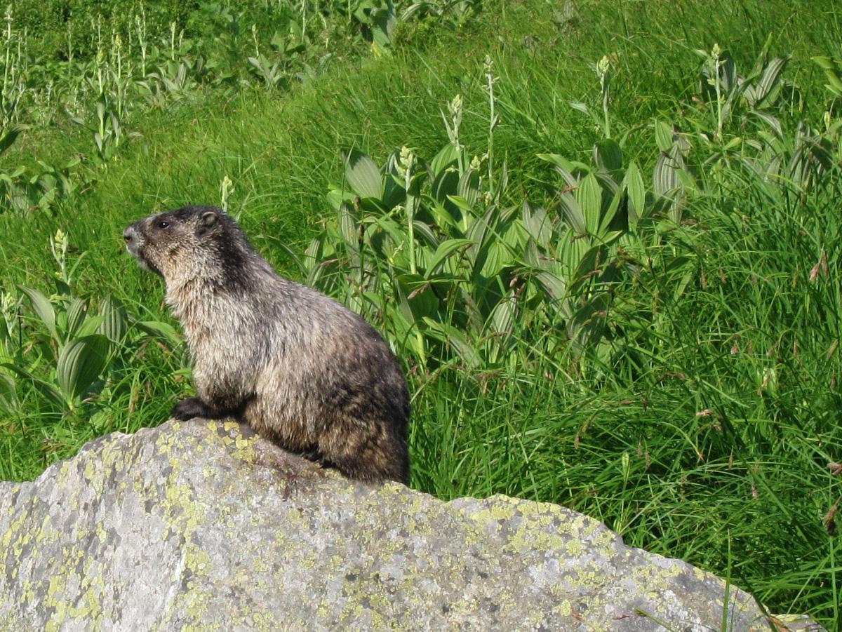 04_marmot